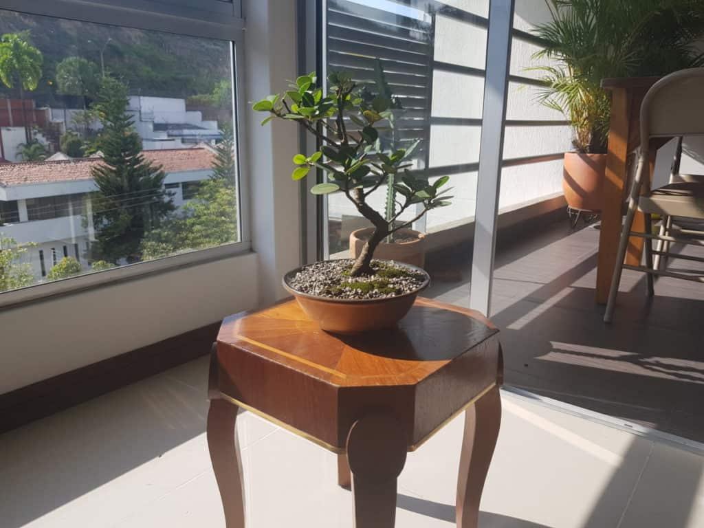 Can Bonsai Trees Grow Indoors Bigboyplants