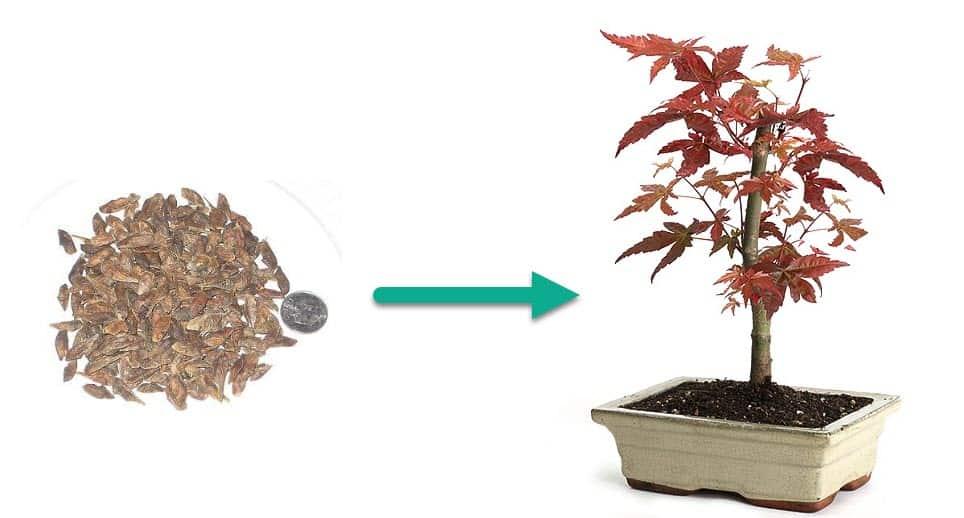 Grow Bonsai from Seeds