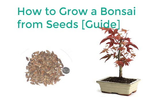 How To Grow A Bonsai From Seeds Bigboyplants