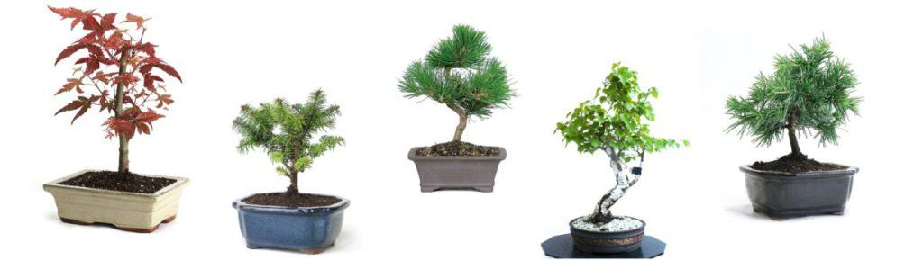 Top bonsai species to grow from Seeds