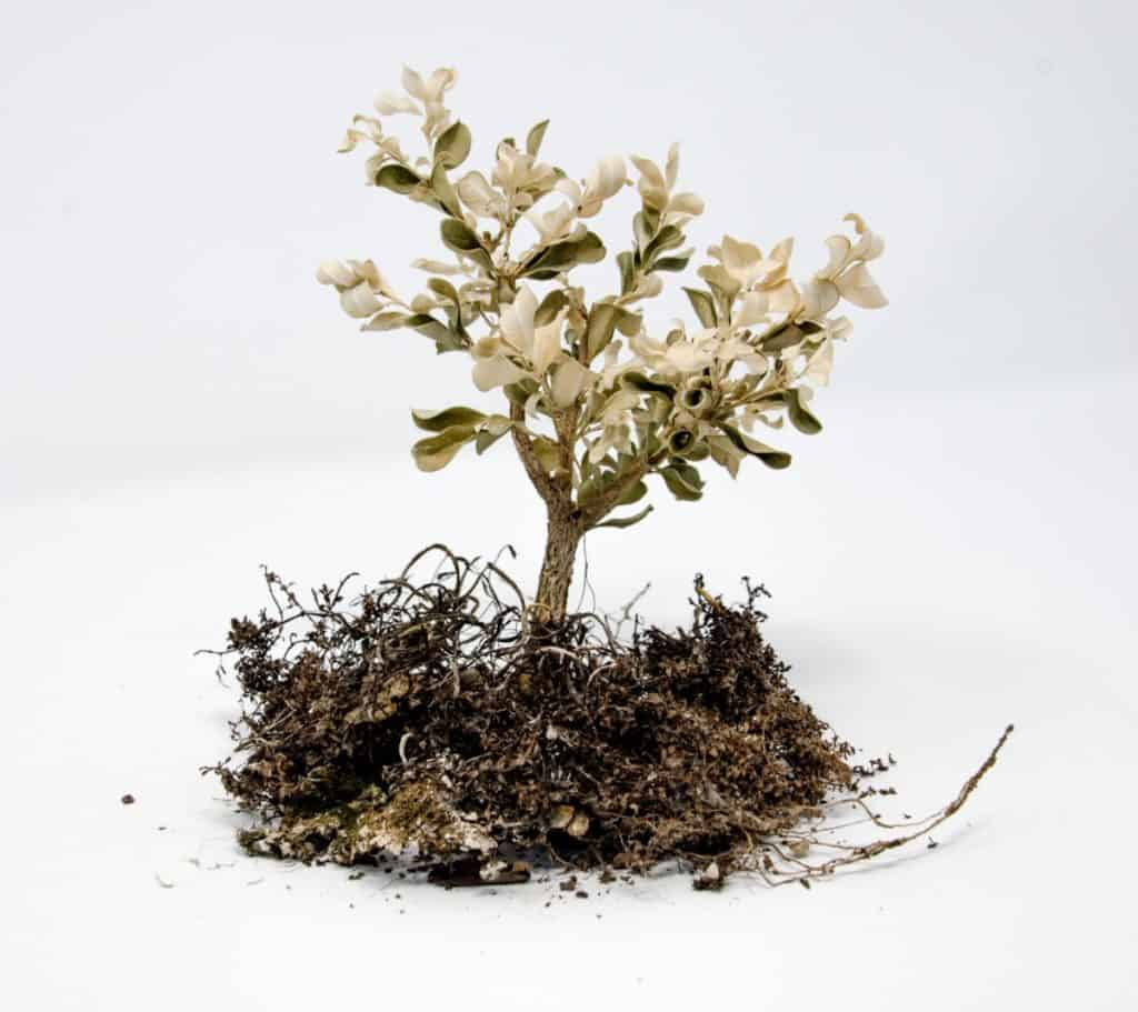 Guide To Revive A Bonsai Tree Bigboyplants
