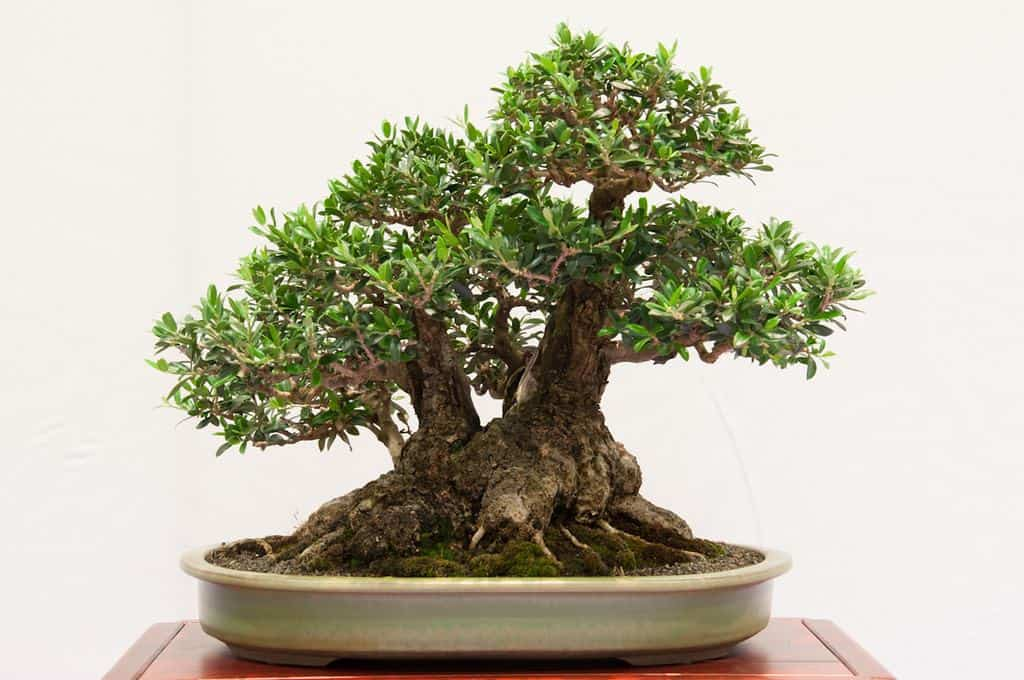 Bonsai with double trunk