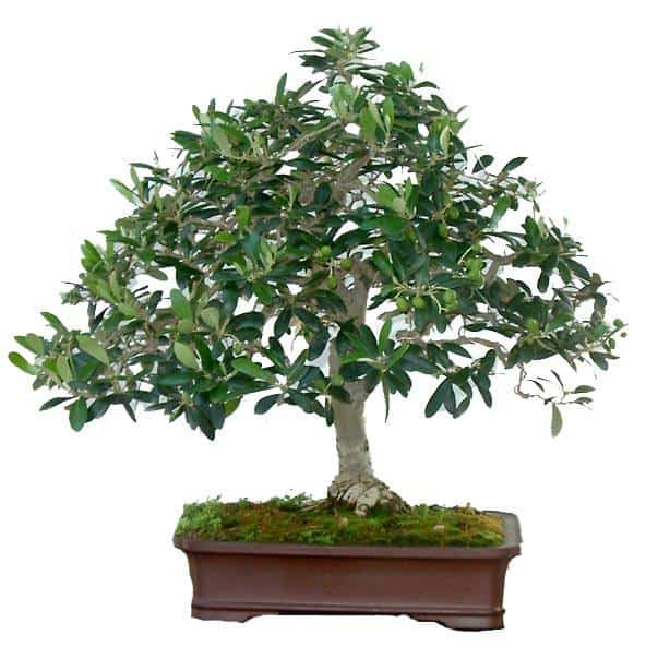 Olive Bonsai Tree with white background