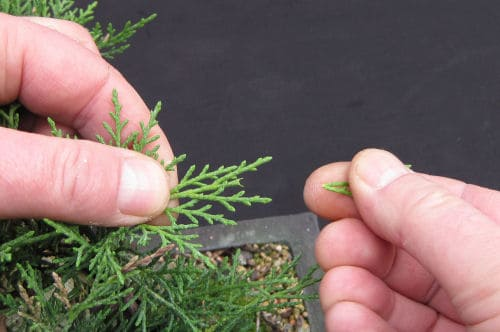 Pruning bonsai with the fingers