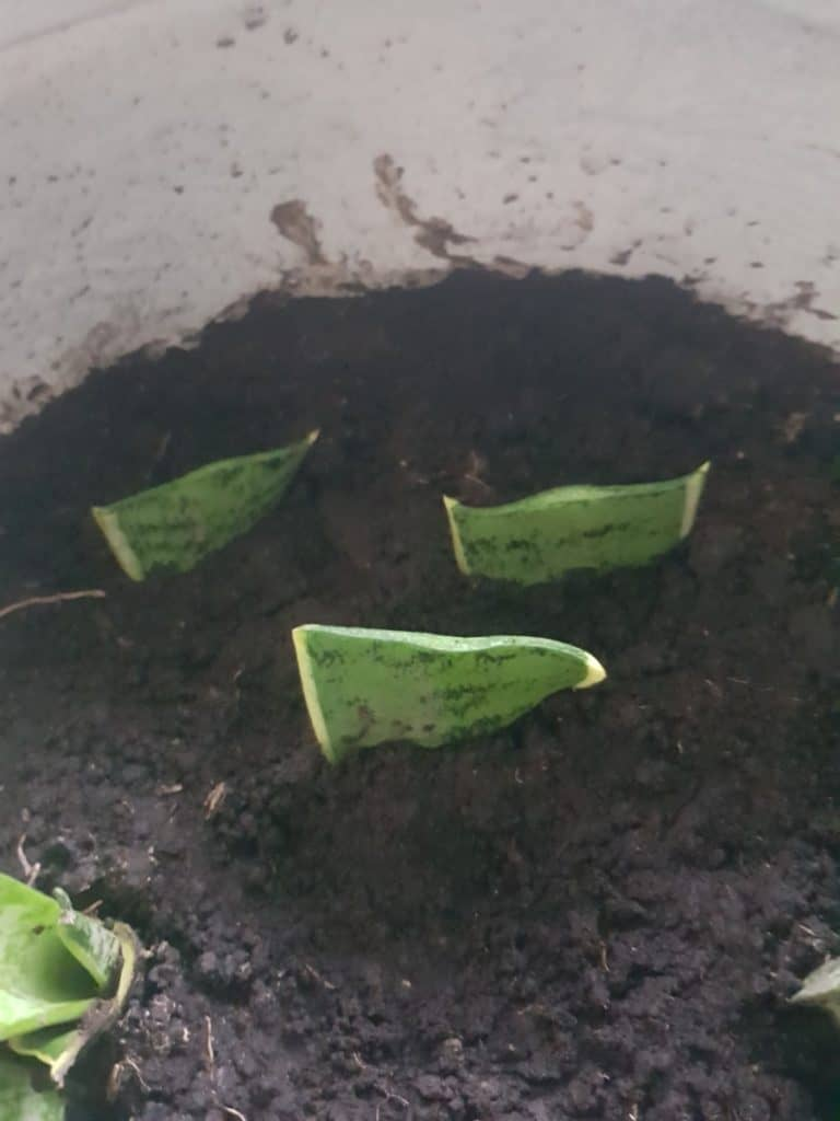 Snake Plant Leave Cuttings after propagation