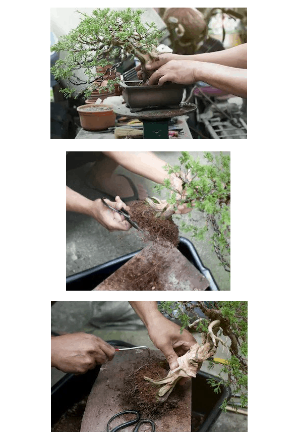 How To Repot A Bonsai Without A Hassle Repotting Bonsai Bigboyplants