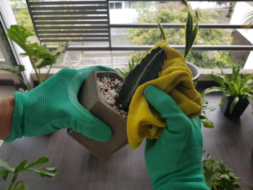 cactus repotting with gloves