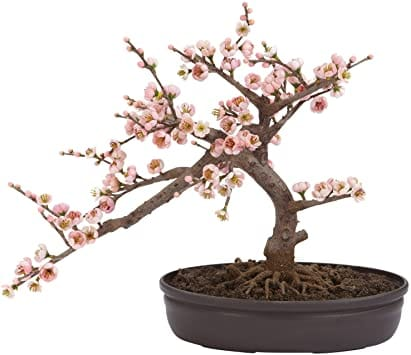 Taking Care Of A Cherry Blossom Bonsai Bigboyplants