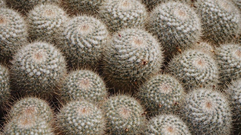 Mammillaria Cacti
