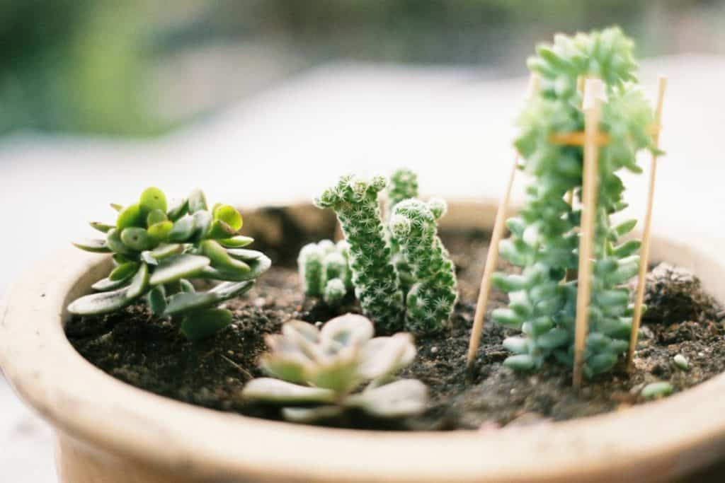 succulent soil should be dry before considering watering