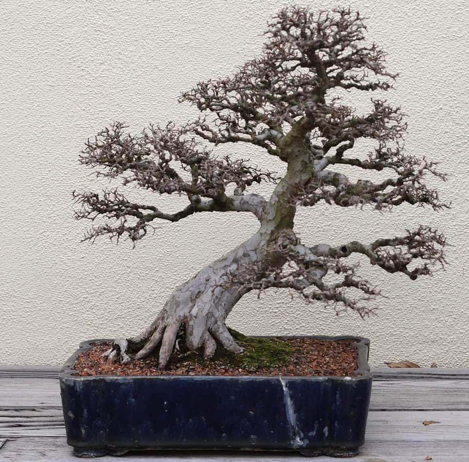 chinese elm bonsai without leaves