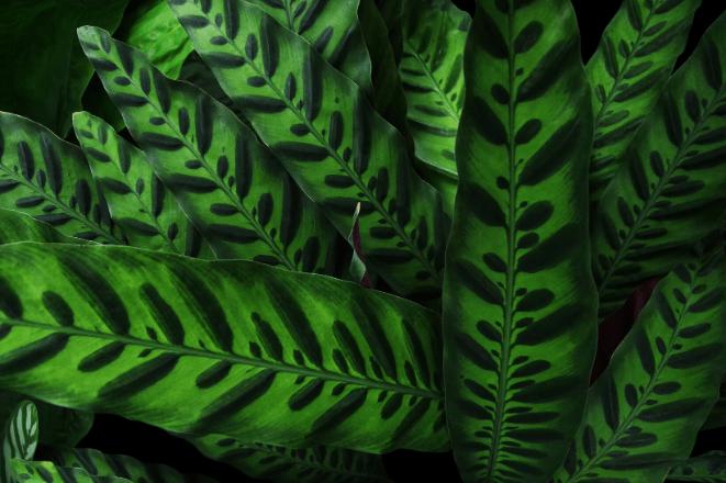 Rattlesnake Plant Leaves