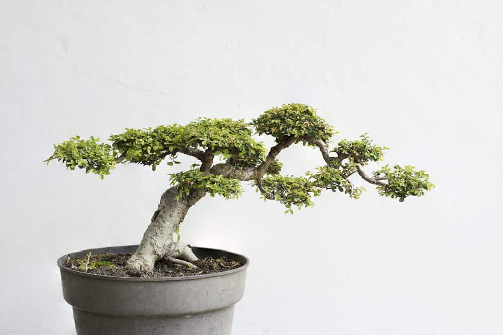 Chinese Elm Bonsai Care Guide Bigboyplants
