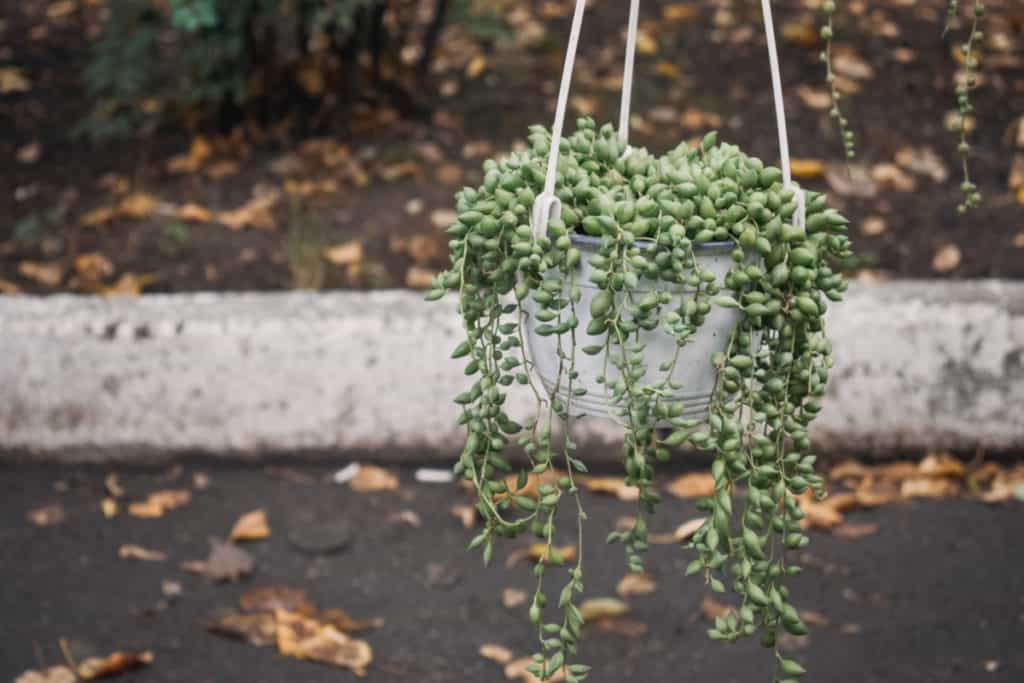 hanging succulent outdoors