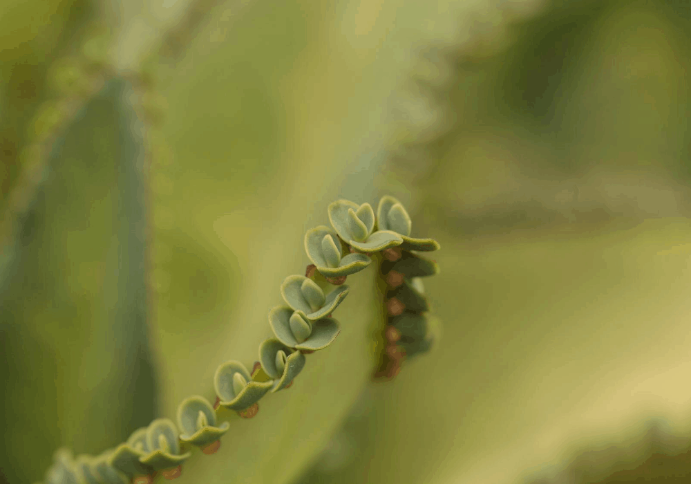 mother of millions leaf