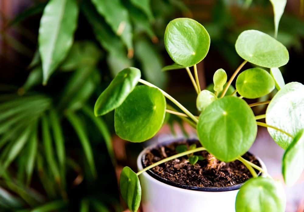 Pilea Peperomioides next to other plants