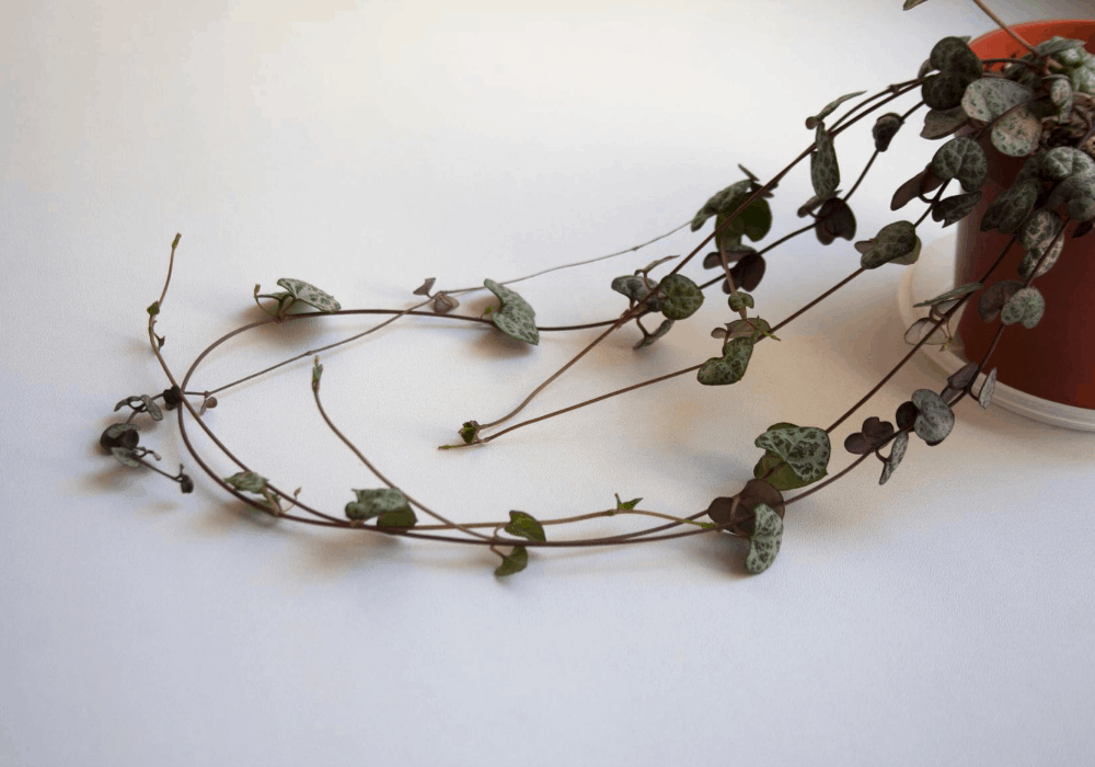 string of hearts trailing