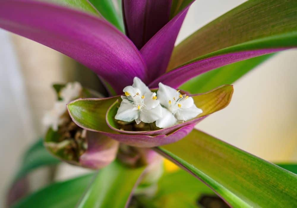 Oyster Plant blooming