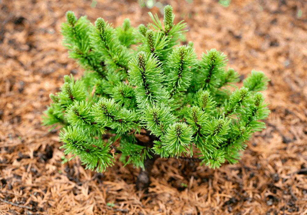Pinus mugo var. pumilio (Dwarf Mountain Pine) Leaves