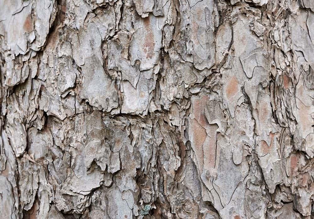 Pinus strobus 'Nana' (Eastern White Pine) Trunk