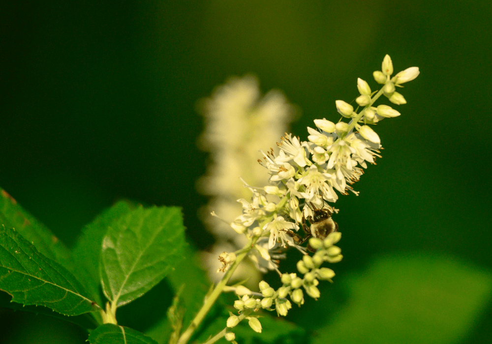 Clethra Alnifolia and bees