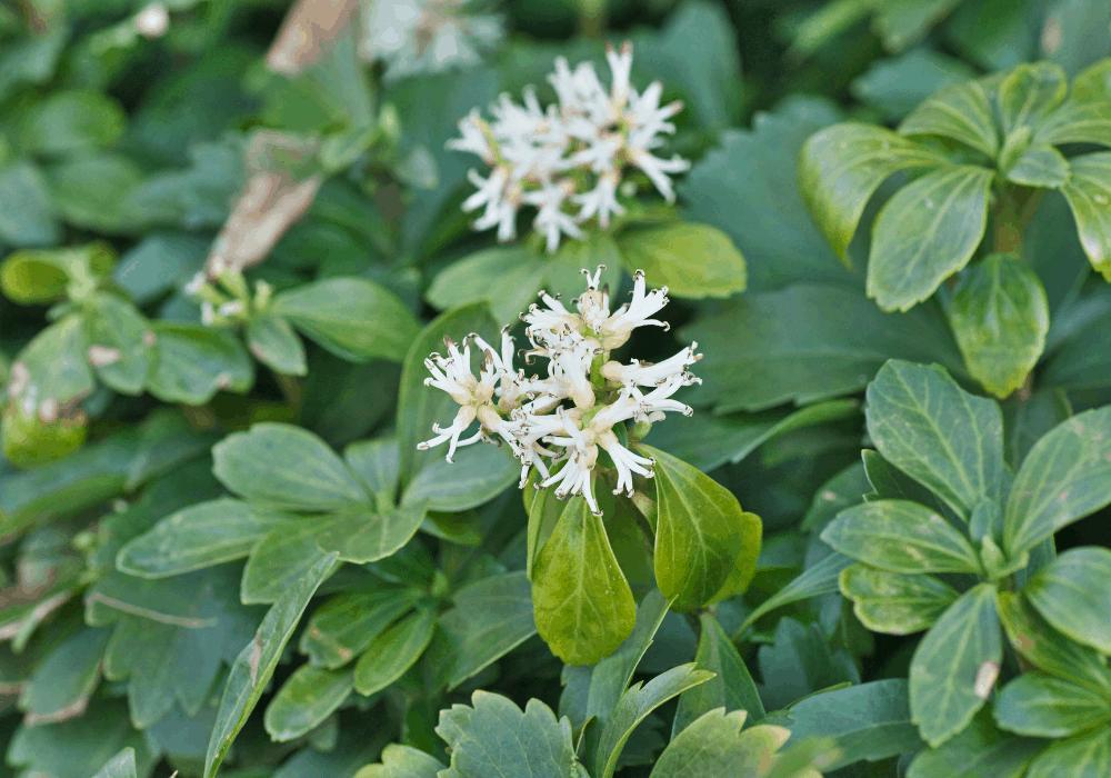 Pachysandra terminalis flowers