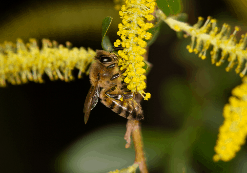 Salix babylonica flower and bees