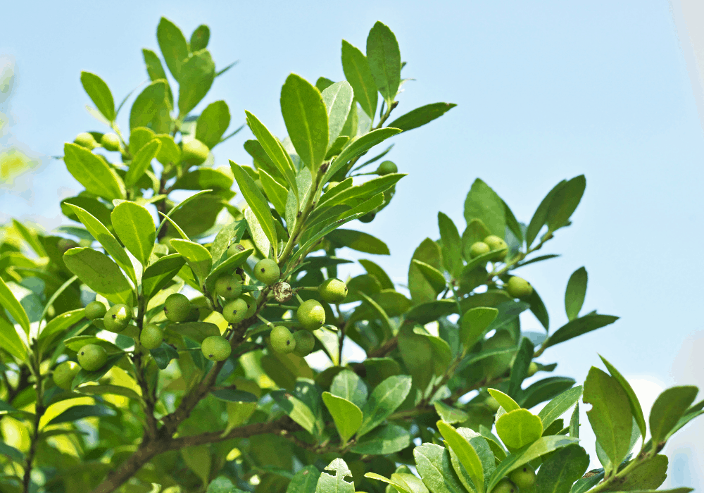 Sky Pencil Japanese Holly with green fruits