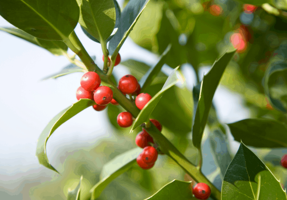 Sky Pencil Japanese Holly with red fruits
