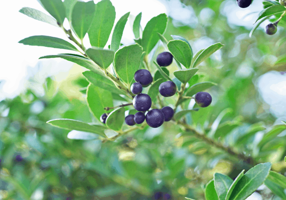 Sky Pencil Japanese Holly with black fruits