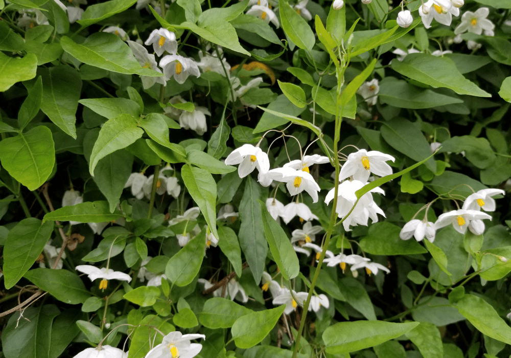 Styrax japonicus care