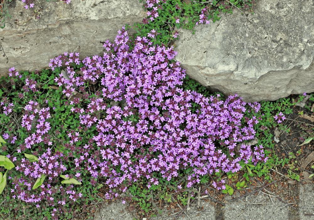 Thymus pseudolanuginosus plants