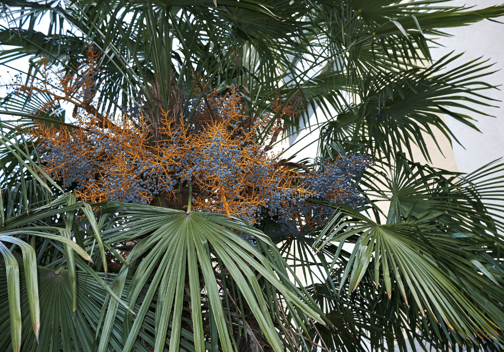 Trachycarpus fortunei plant