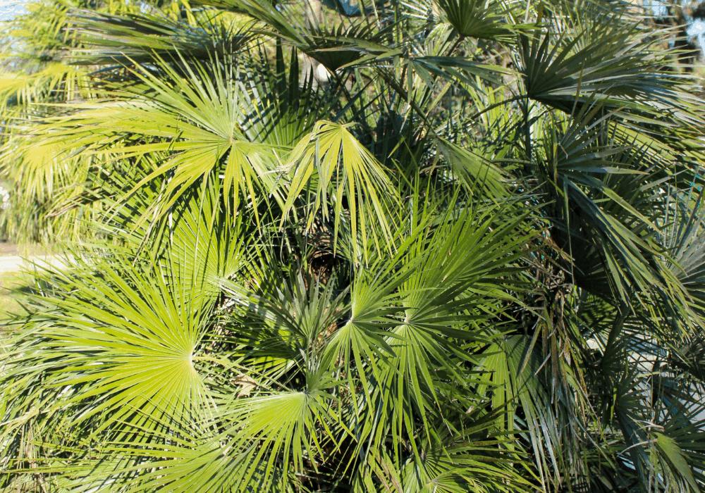 Trachycarpus fortunei leaf