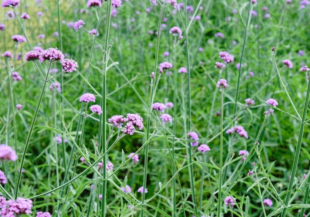 Verbena bonariensis buds