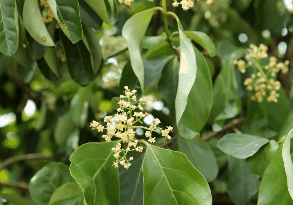Viburnum carlesii buds
