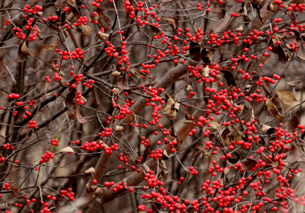 Winter Gold Winterberry dry leaves