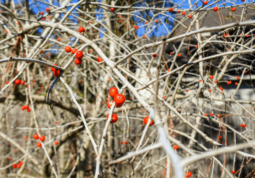Winter Gold Winterberry no leaves