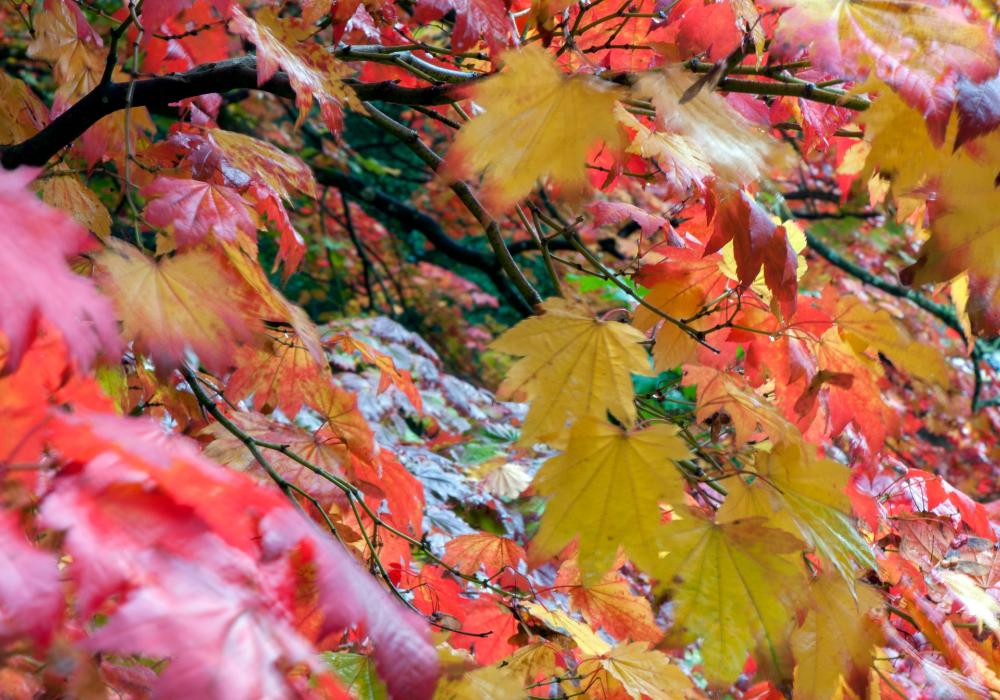 Acer shirasawanum 'Autumn Moon' branchy