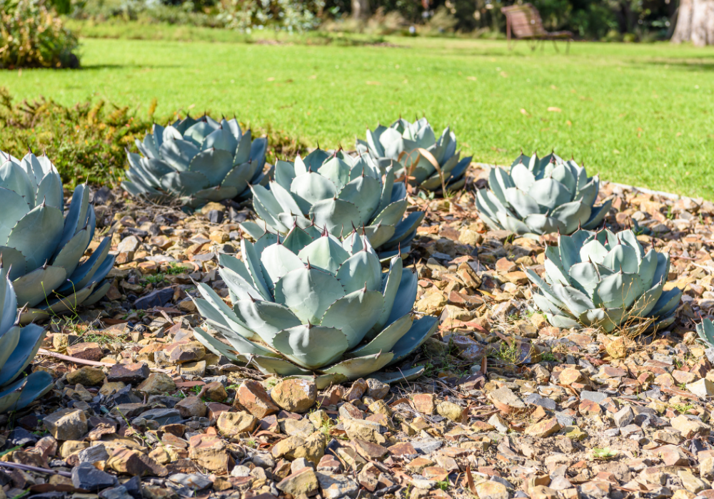 Agave parryi var. neomexicana care