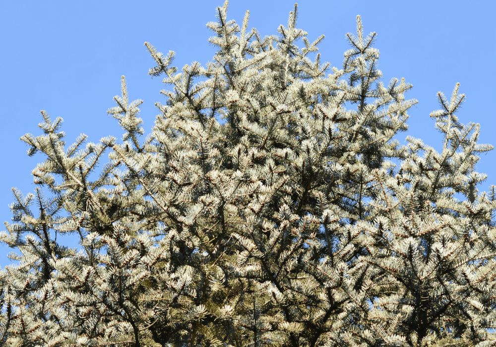 Blue Cloak White Fir plant