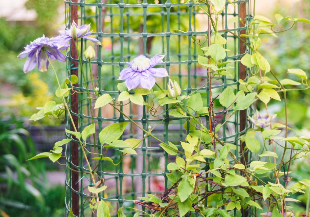 Blue Light® Clematis care