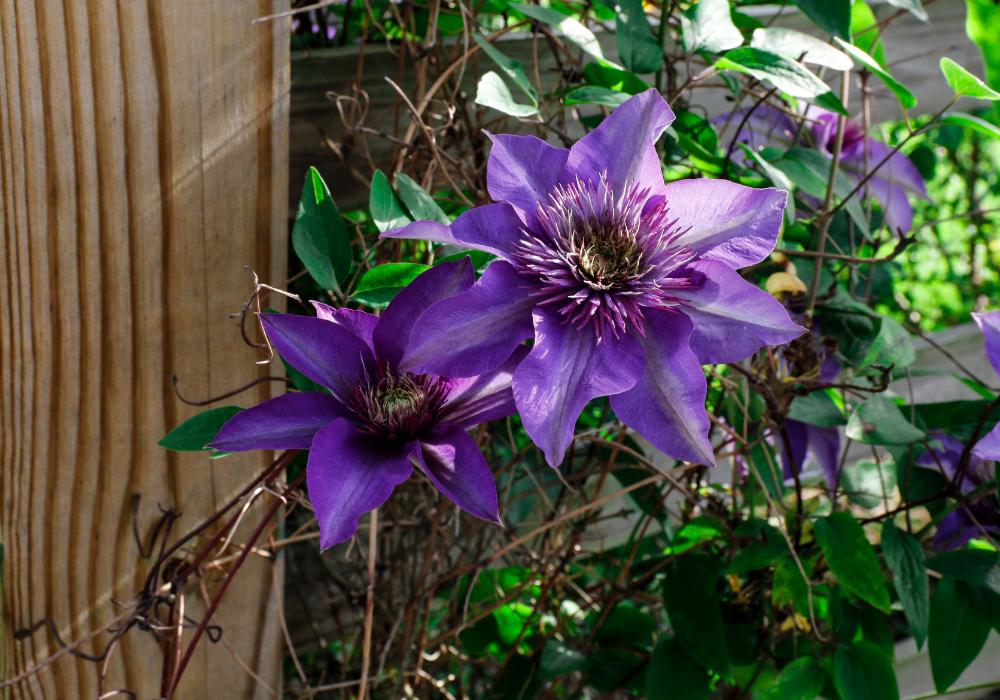 Blue Light® Clematis plants