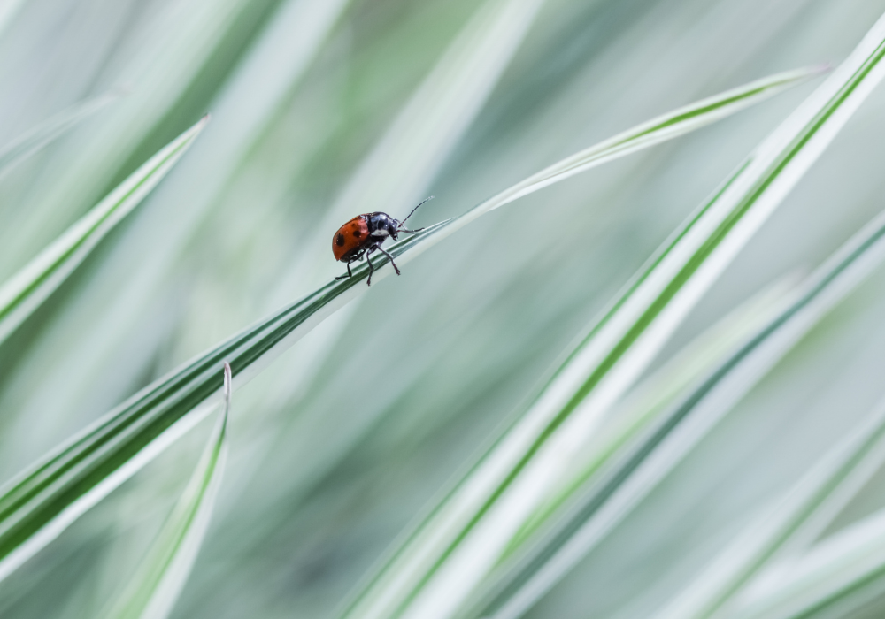 Bulbous Oat Grass and insects