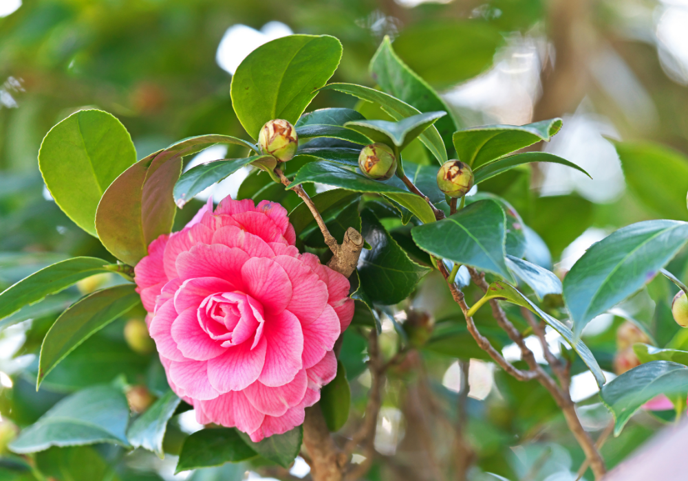 Camellia japonica 'Pearl Maxwell' buds