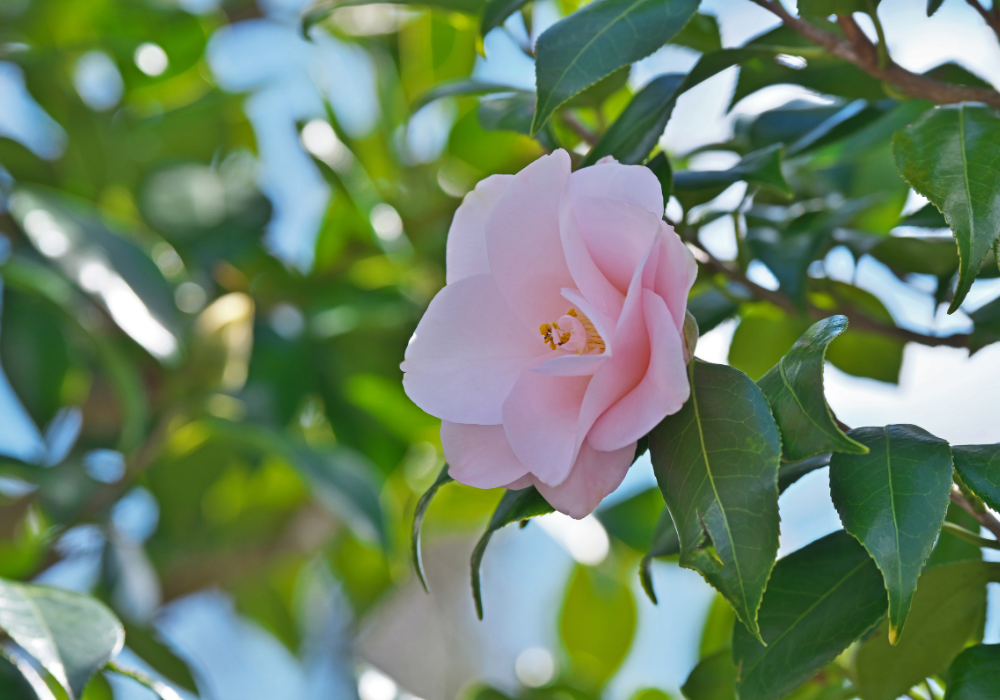 Camellia japonica 'Pearl Maxwell' flower