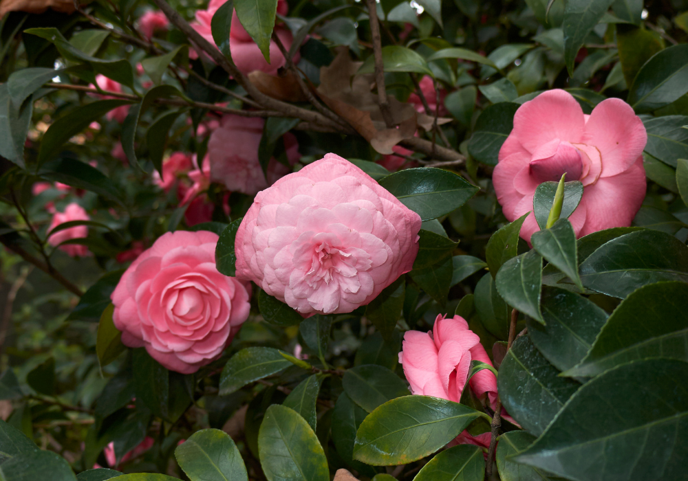Camellia japonica 'Pearl Maxwell' plants