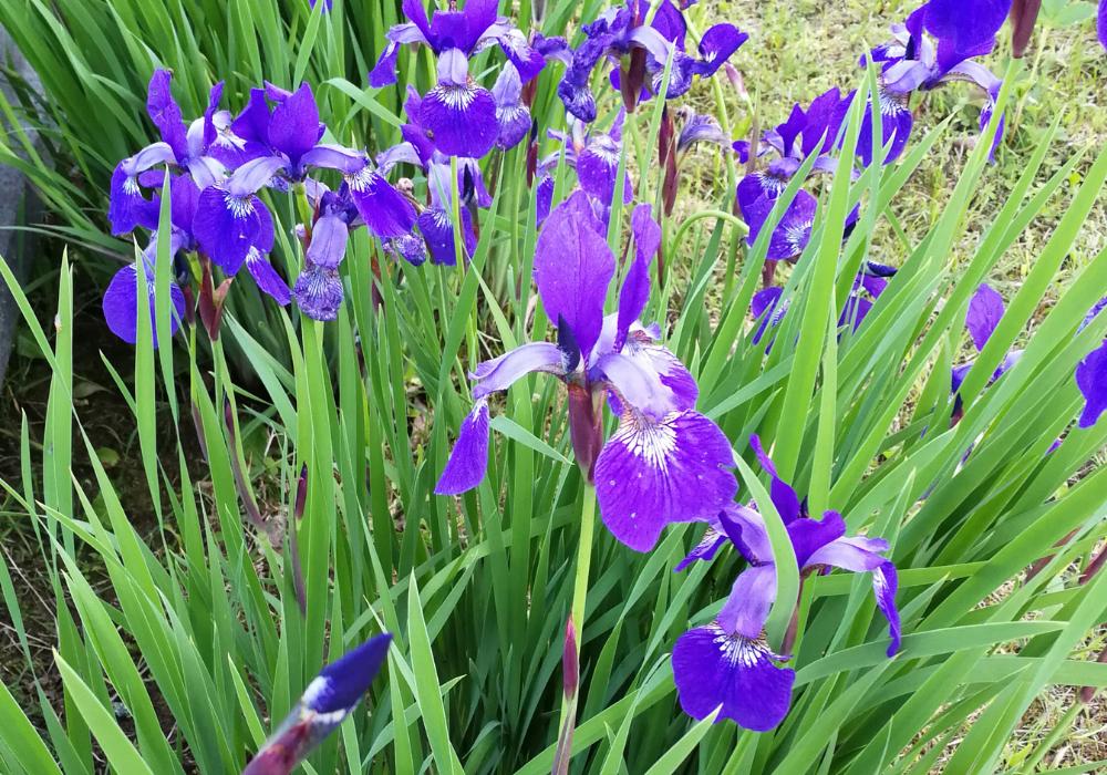 Chilled Wine Siberian Iris flowers