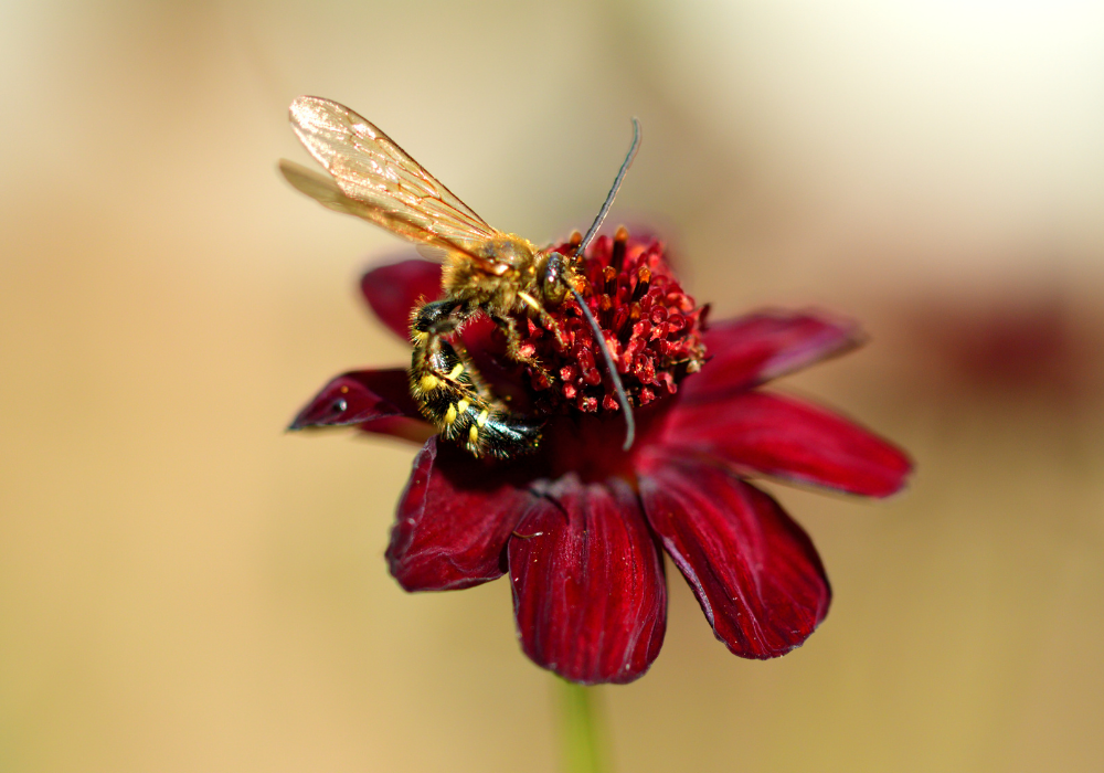 Chocolate Cosmos and bees