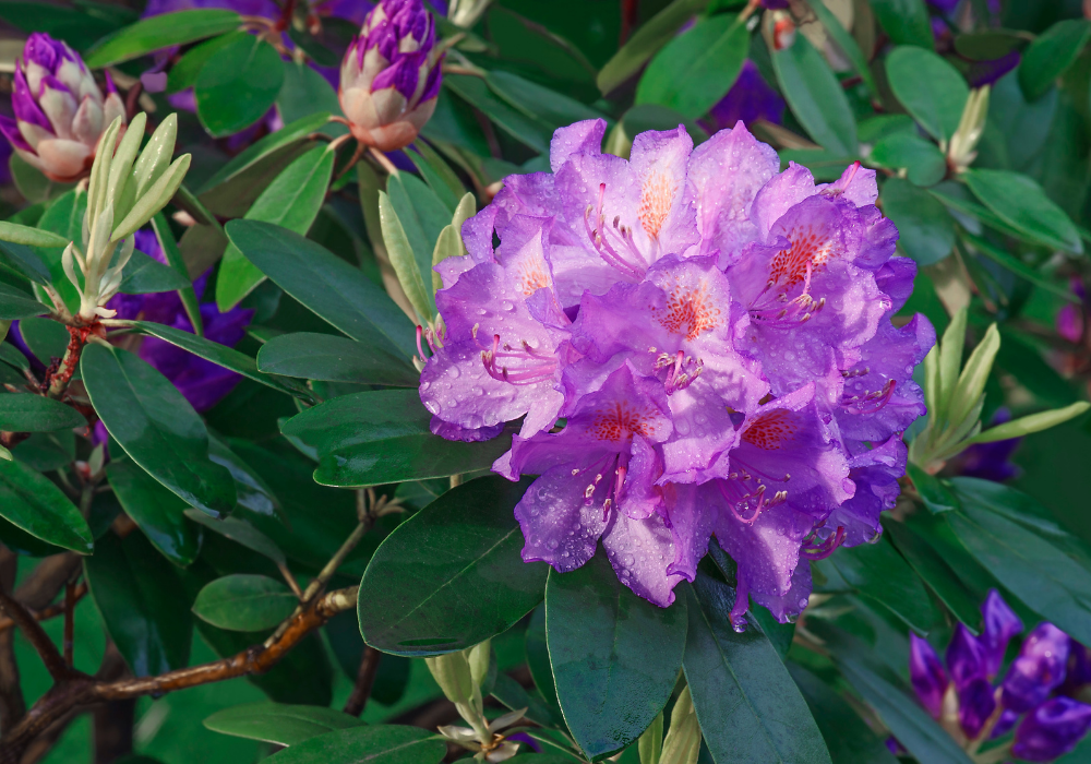 Compact Rosebay Rhododendron plant